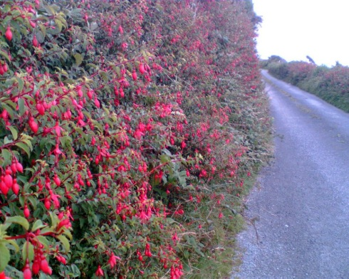 clifden_fuschia_hedge_800