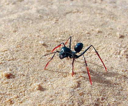 Desert-ants